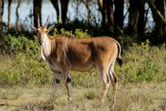 The common eland Taurotragus oryx in Africa savannah nature. The common eland Taurotragus oryx, southern eland or eland antelope, savannah and plains antelope in Stock Photo
