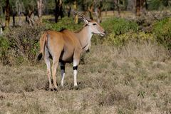 Common eland Taurotragus oryx in Africa savannah nature. The common eland Taurotragus oryx, southern eland or eland antelope, savannah and plains antelope in Royalty Free Stock Photography