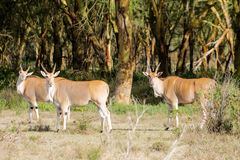 Taurotragus oryx in Africa savannah nature. The common eland Taurotragus oryx, southern eland or eland antelope, savannah and plains antelope in East and Royalty Free Stock Images