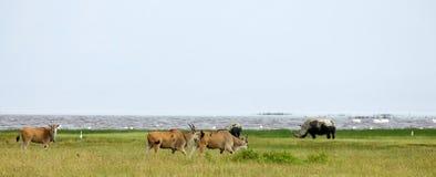 Common Eland (Tragelaphus or Taurotragus oryx) Stock Images