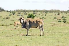 Common Eland (Tragelaphus or Taurotragus oryx) Royalty Free Stock Photo
