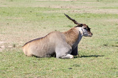 Common Eland (Tragelaphus or Taurotragus oryx) Royalty Free Stock Photos