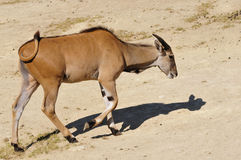 Common eland walking Royalty Free Stock Images