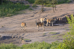 Common Eland at a Watering Hole Royalty Free Stock Photography