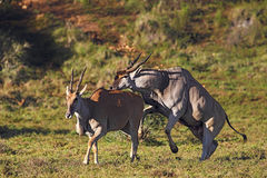 Common Elands mating Stock Photo