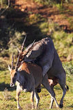 Common Elands mating Royalty Free Stock Photo