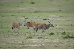 Common Elands in the Savannah Stock Image