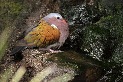 Common emerald dove Royalty Free Stock Image