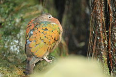 Common emerald dove Stock Images