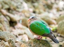 Common emerald dove Stock Image