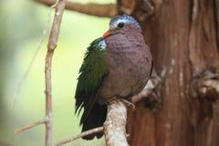 Common emerald dove Stock Images