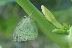Common Emigrant butterfly on papaya tree. Stock Photo
