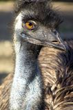 Emu look. The common emu is a species of strutioniform bird of the Dromaiidae family, it is a non-flying bird, and is, after the ostrich, the second in size. It Stock Photo
