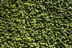 Common english ivy Stock Photography