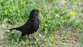 Common or Eurasian blackbird profile in spring meadow. Turdus merula. Cute black songbird standing in green grass with dandelions in background. Close-up of Stock Image