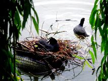 Common Eurasian Coots in nest and swimming with nesting material in lake bodensee. Germany Stock Photos