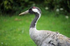 Common or Eurasian crane stock images