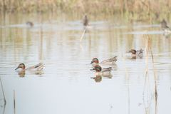 Common or Eurasian Teals Migratory Duck in a Lake. Migratory Duck Common Teals or Eurasian Teals Anas crecca skimming in a Lake royalty free stock photography
