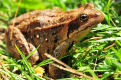 Common Euroipean frog side on. Common european frog (rana temporaria) viewde from side Stock Photo