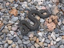Common European Adder. On a stone ground Royalty Free Stock Photos