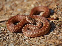 Common european adder Royalty Free Stock Image