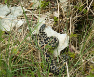 Common European Adder. Adult Common European Adder or Viper snake in grassy undergrowth Stock Photos