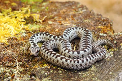 Common european adder basking in natural habitat. Common european crossed adder basking in natural habitat  Vipera berus Stock Image