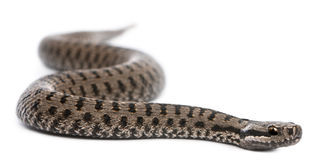 Common European adder or common European viper Royalty Free Stock Photo