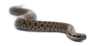 Common European adder or common European viper Stock Image