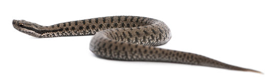 Common European adder or common European viper. Vipera berus, in front of white background Royalty Free Stock Photo