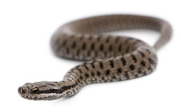 Common European adder or common European viper. Vipera berus, in front of white background Royalty Free Stock Image