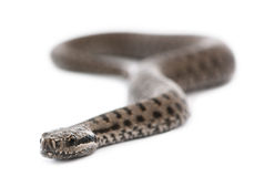 Common European adder or common European viper. Vipera berus, in front of white background Royalty Free Stock Photos