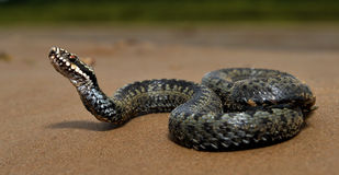 The common European adder or common European viper. The common European adder or common European viper, is a venomous viper species that is extremely Stock Images