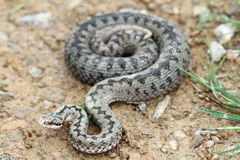 Common european adder on the ground. ( Vipera berus, female Royalty Free Stock Photo