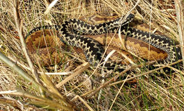 The common European adder. Two common European adder between dry grass Stock Photo