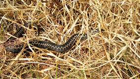 The common European adder. Two common European adder between dry grass Stock Image