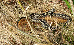 The common European adder. Two common European adder between dry grass Stock Photos