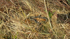 The common European adder. Two common European adder between dry grass Royalty Free Stock Image
