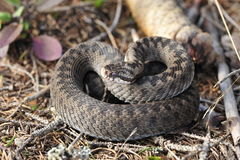 Common European adder. Common European viper, vipera berus Royalty Free Stock Photos