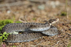 Common European adder. Common European viper, vipera berus Royalty Free Stock Photography
