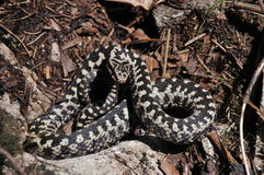 Common European adder. Common European viper, vipera berus Royalty Free Stock Photo