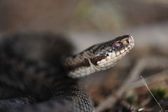 Common European adder. Common European viper, vipera berus Stock Photography