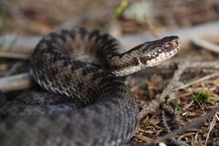 Common European adder. Common European viper, vipera berus Stock Photos