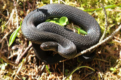 Common European adder. Common European viper, vipera berus Stock Photo