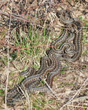 Common European Adder (vipera berus). Common European Adders resting in the sun in its habitat Royalty Free Stock Images