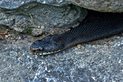Common European Adder (vipera berus). Common European Adder resting and hiding in its habitat Royalty Free Stock Photo