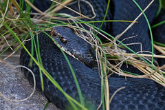 Common European Adder (vipera berus). Common European Adder resting and hiding in its habitat Royalty Free Stock Image