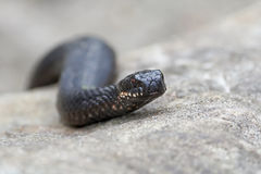 Common European Adder (vipera berus). Common European Adder resting in its natural habitat Royalty Free Stock Images