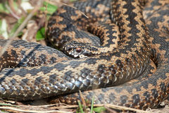 Common European Adder (vipera berus). Common European Adder resting in the sun in its habitat Royalty Free Stock Photo