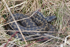 Common European Adder (vipera berus). Common European Adder resting in the sun in its habitat Stock Images